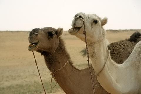 http://www.transafrika.org/media/Mauretanien/Kamele-Sahara.jpg