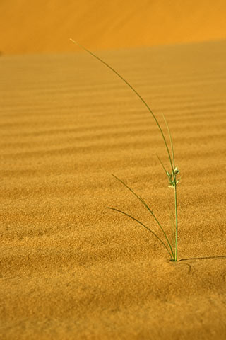 http://www.transafrika.org/media/Mauretanien/Pflanze-Sahara.jpg