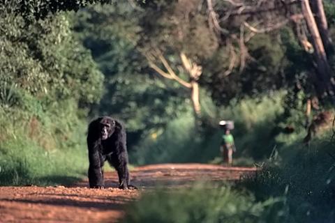 http://www.transafrika.org/media/Ostafrika/schimpanse-uganda.jpg