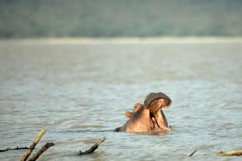 Flusspferd Safaris