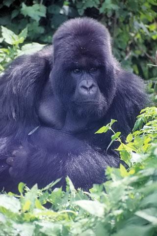 Gorilla Afrika