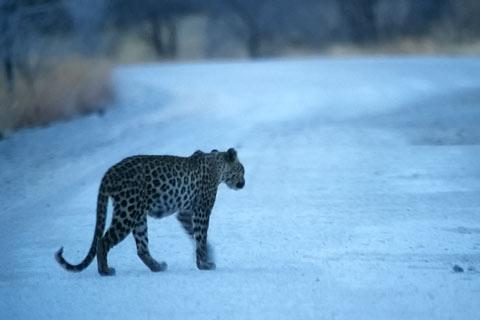 Leopard Afrika