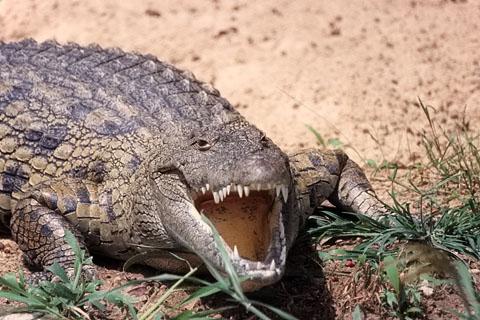 http://www.transafrika.org/media/Uganda/Krokodil.jpg