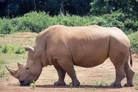 http://www.transafrika.org/media/Uganda/Nashorn-Afrika.jpg