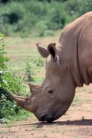 http://www.transafrika.org/media/Uganda/Nashorn.jpg