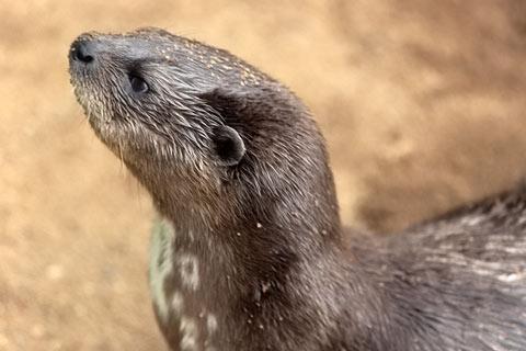 http://www.transafrika.org/media/Uganda/Otter.jpg