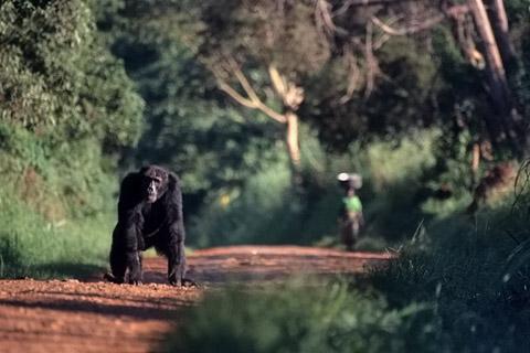 http://www.transafrika.org/media/Uganda/Schimpanse.jpg
