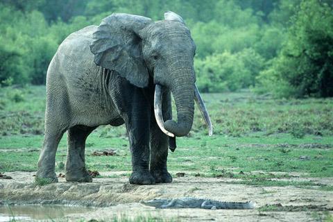 Afrika, Elefant
