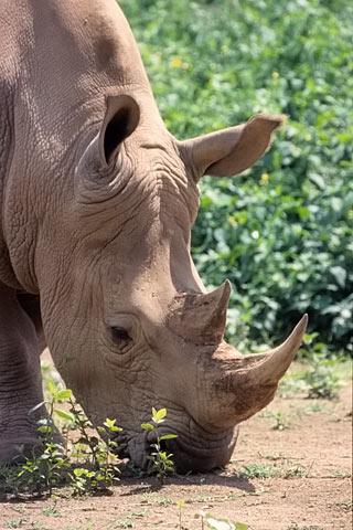 Nashorn Safari Afrika