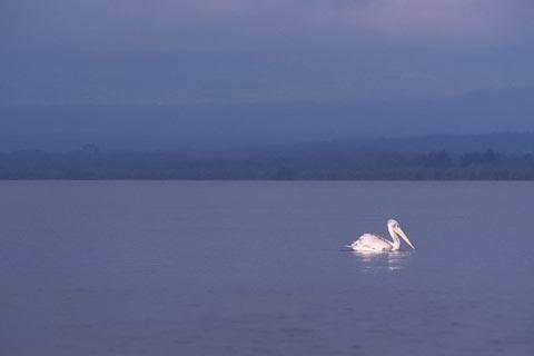 http://www.transafrika.org/media/kenia/pelikan-lake-naivasha.jpg