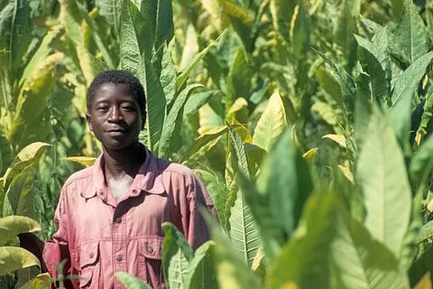 http://www.transafrika.org/media/malawi/mann-tabak-malawi.jpg