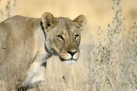 Löwe, Afrika