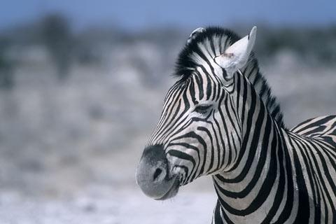 http://www.transafrika.org/media/namibia/Zebra.jpg