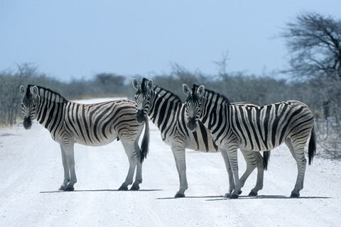 http://www.transafrika.org/media/namibia/Zebras.jpg