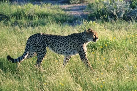 http://www.transafrika.org/media/namibia/gepard.jpg