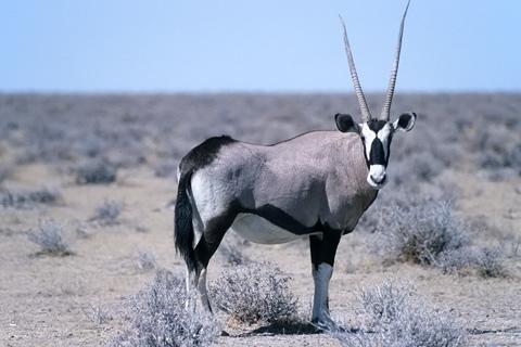 http://www.transafrika.org/media/namibia/oryx.jpg