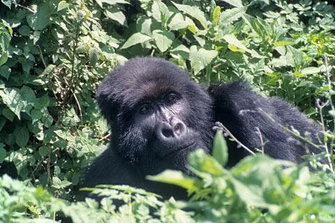 http://www.transafrika.org/media/ruanda/gorilla-regenwald.jpg