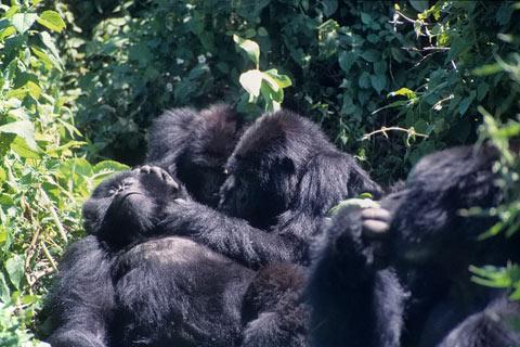 http://www.transafrika.org/media/ruanda/gorilla-ruanda-2.jpg