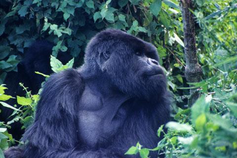 http://www.transafrika.org/media/ruanda/gorilla-ruanda.jpg