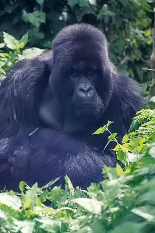 http://www.transafrika.org/media/ruanda/ruanda-gorilla.jpg