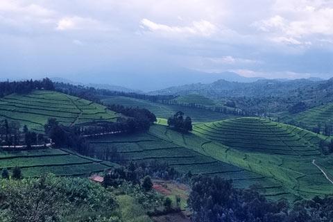 http://www.transafrika.org/media/ruanda/tee-ruanda.jpg